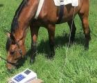 Cavallo con dispositivo per la biorisonanza nel paddok