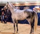 Airoforce-stallion (USA)
