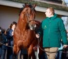 Siyouni stallion