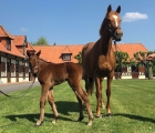 Ecurie des Monceaux, France. 24 april, Starlet Sister (Ire) (Galileo (Ire) produced a bay filly by Dubawi. Here at few hours