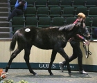 caravaggio-colt-tops-opening-day-of-goffs-november-foal-sale