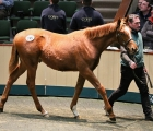 own-brother-to-ghaiyyath-tops-record-november-foal-sale-at 1.200.000 €