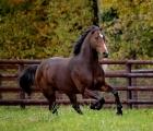Lo stallone Shalaa